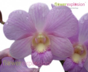 Light Pink Dendrobium