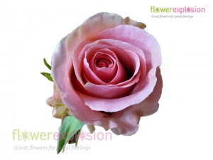 Fenice Pink Rose