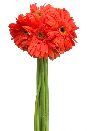 Orange Gerberas Dark Eye