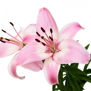 Pink and White Asiatic Lily