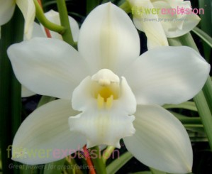 Pure White Cymbidium