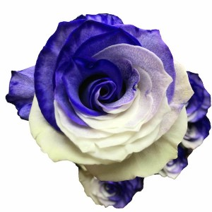 Purple and White Tinted Roses