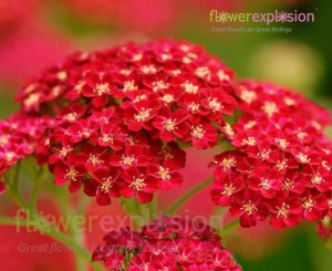 Red Tinted Yarrow
