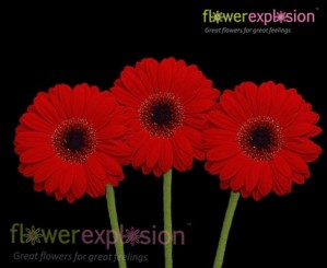 Red Mini Gerberas