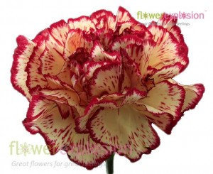 Burgundy & White Carnations