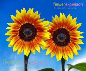 Medium Ring of Fire Sunflowers