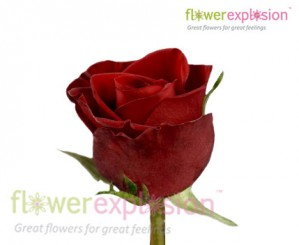 Tinto Red Rose