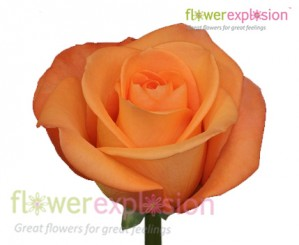 Tropical Amazone Orange Rose