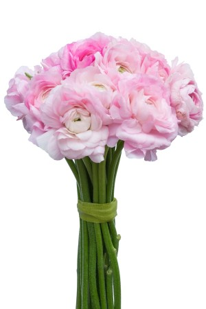 Light Pink Ranunculus (Flowers)