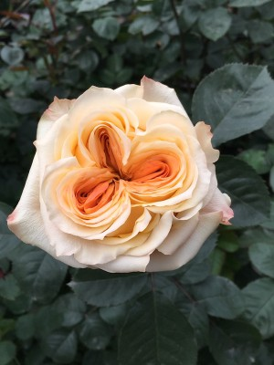Wedding X-Pression Peach Garden Rose