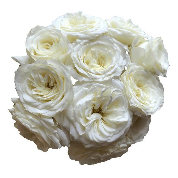 alabaster garden roses