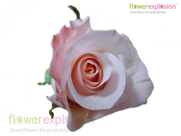 Alicia Light Pink Rose