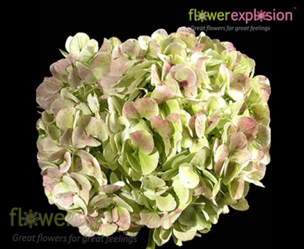 Antique Hydrangea Green