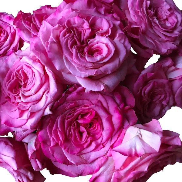Fuchsia Garden Roses Ashley