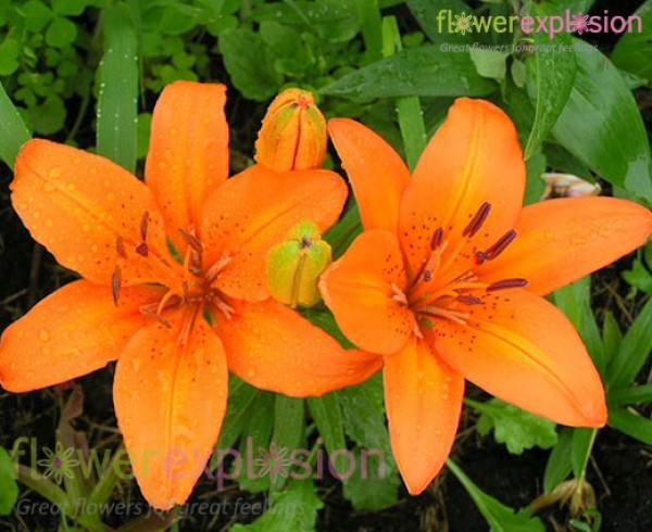 Asiatic Lily Orange