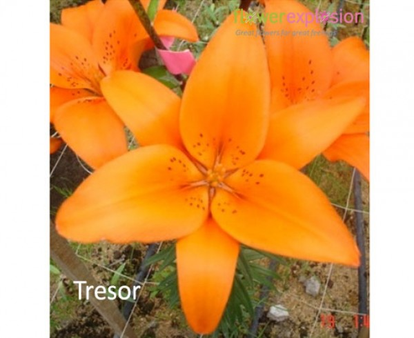 Tresor Orange Asiatic Lily