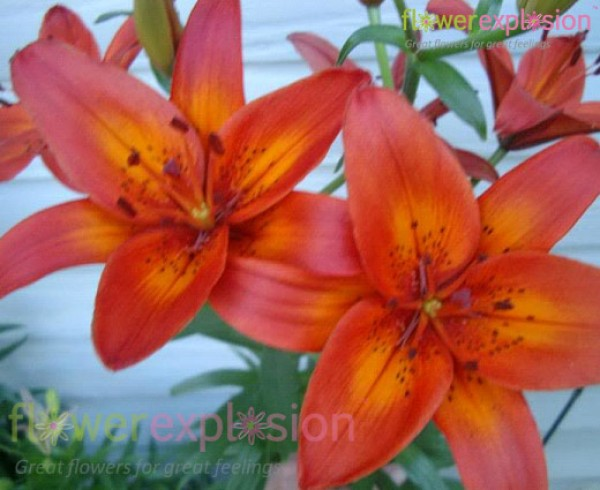 Asiatic Lily Terracotta