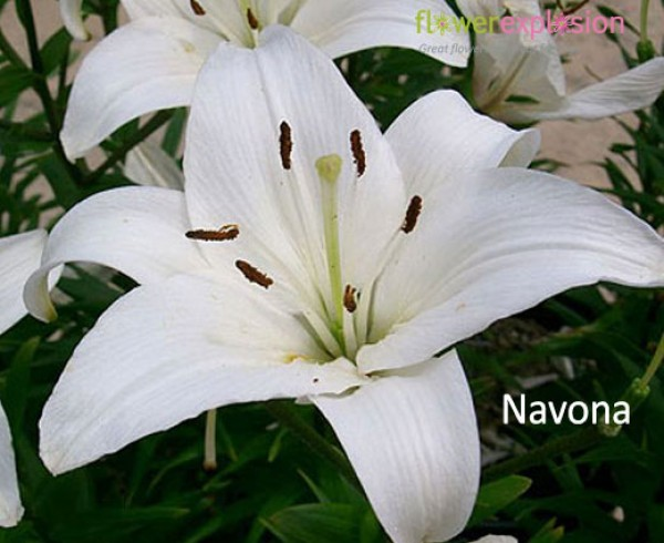 Navona White Asiatic Lily