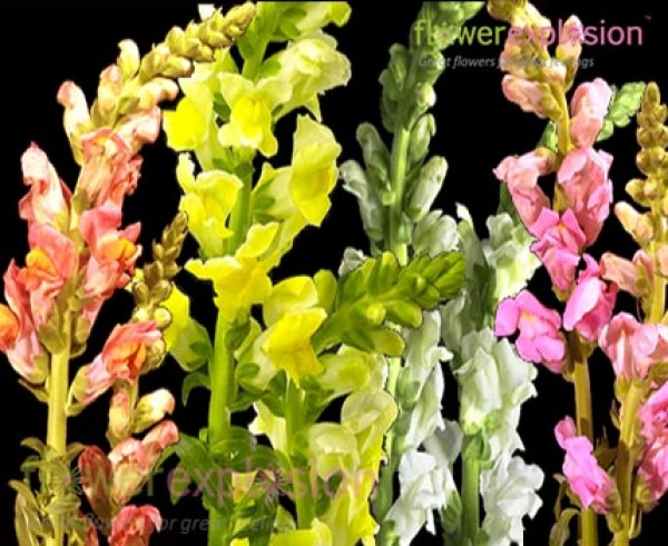 Assorted Snapdragons