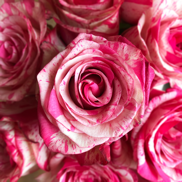 White and Pink Rose Novelty