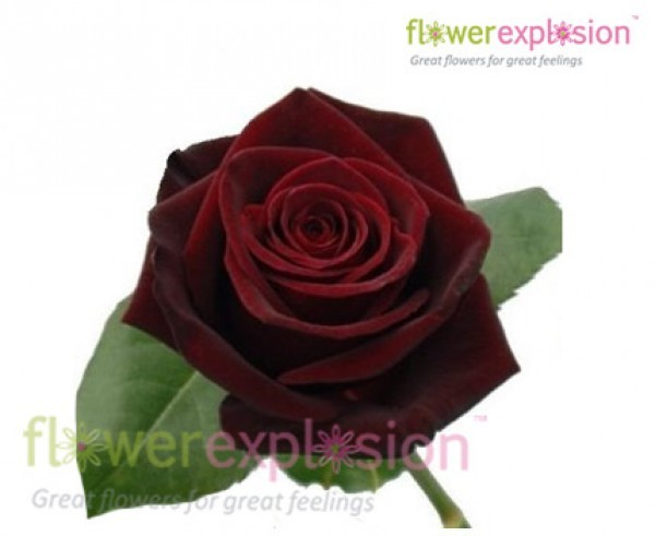 Black Baccara Rose Head