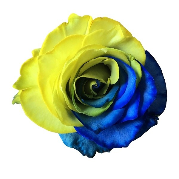 bicolor yellow and blue rose