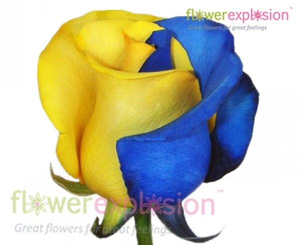 Blue yellow tinted roses blue yellow tinted mightylinksfo