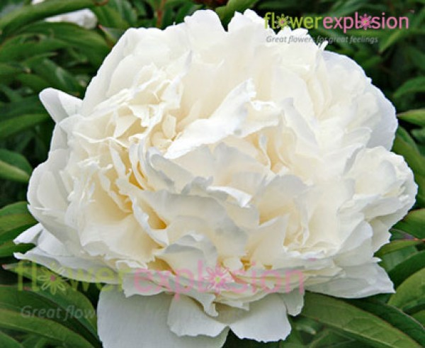 White Peonies January February
