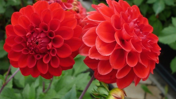 Bright Red Dahlia Flowers