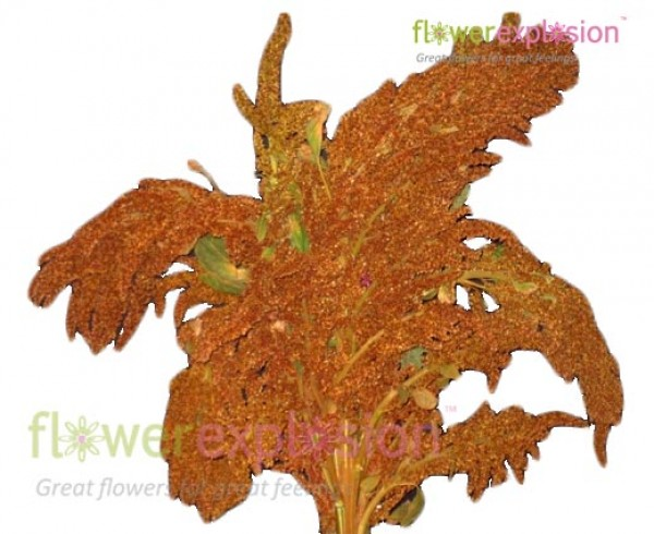 Upright Bronze Amaranthus