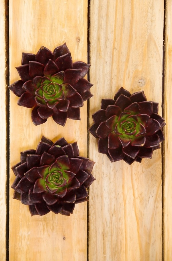 Brown Succulents