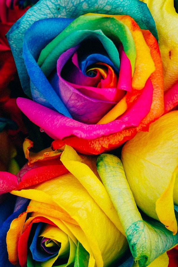 wholesale rainbow roses