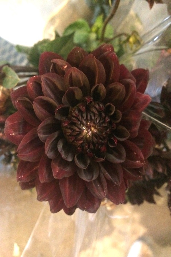 chocolate brown dahlia