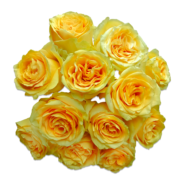 Country Sun Roses