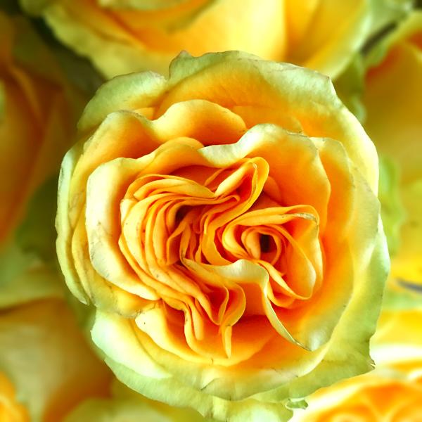 Country Sun Yellow Garden Rose