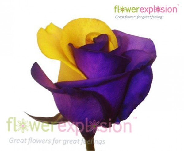 Buy purple and yellow tinted rose flowers wholesale online flower purple yellow tinted mightylinksfo