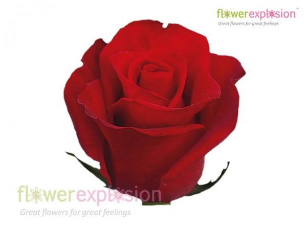 Freedom Red Rose