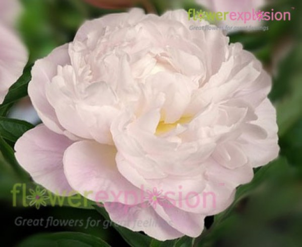 gardenia white and blush peony, Beautiful flower