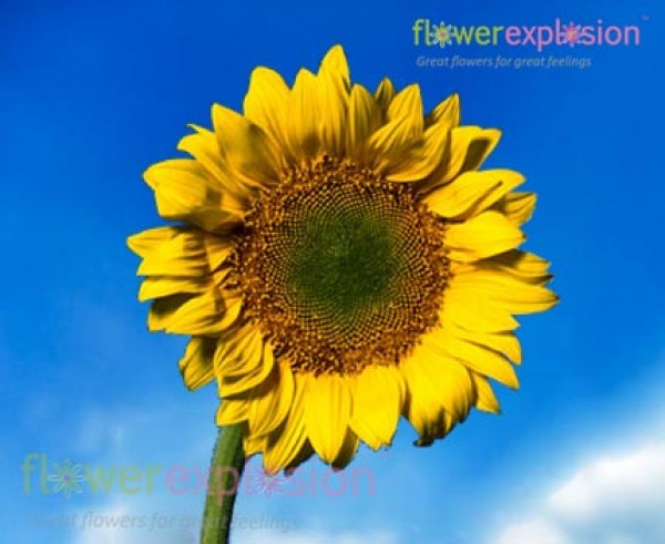 Large sunflowers with yellow green center for wedding bouquets green center sunflower mightylinksfo