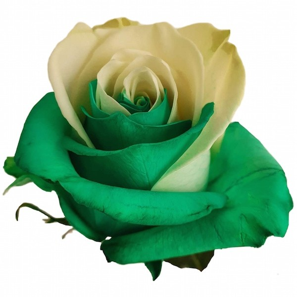 Green and White Rose