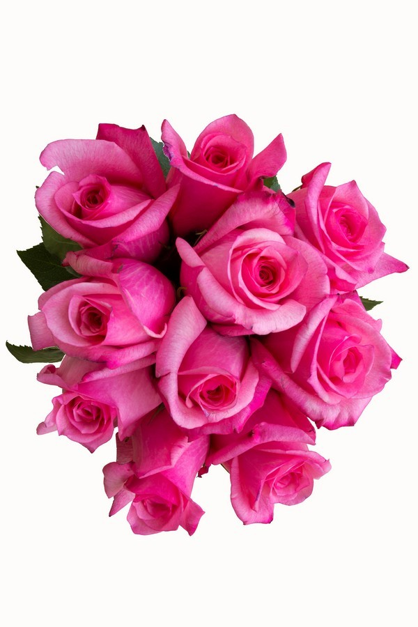 Hot Pink Roses - Next Day Delivery