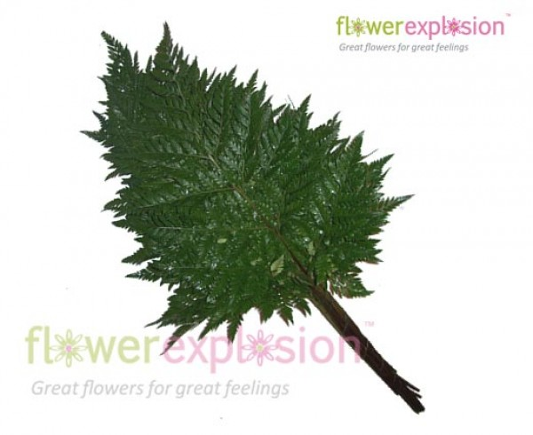 Leather leaf Green Fern