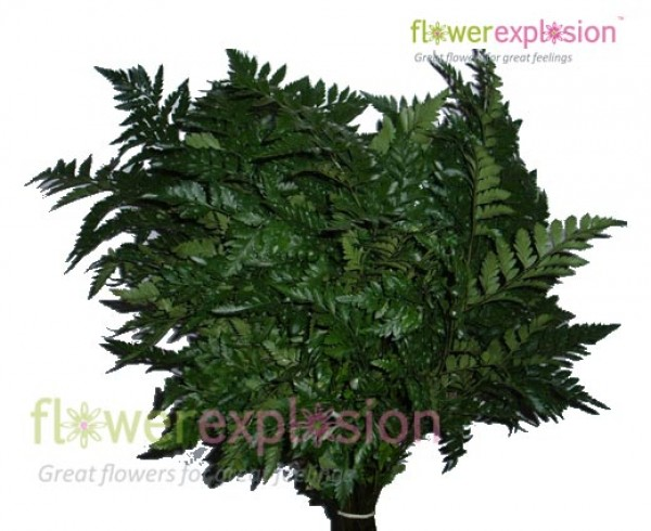 Leather-leaf Green Fern