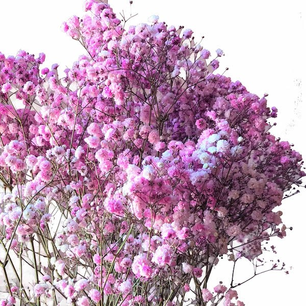 light pink baby's breath tinted