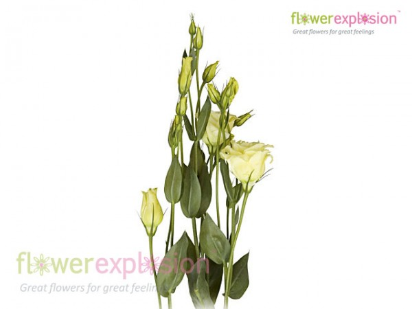 Lisianthus Double Cream / Yellow