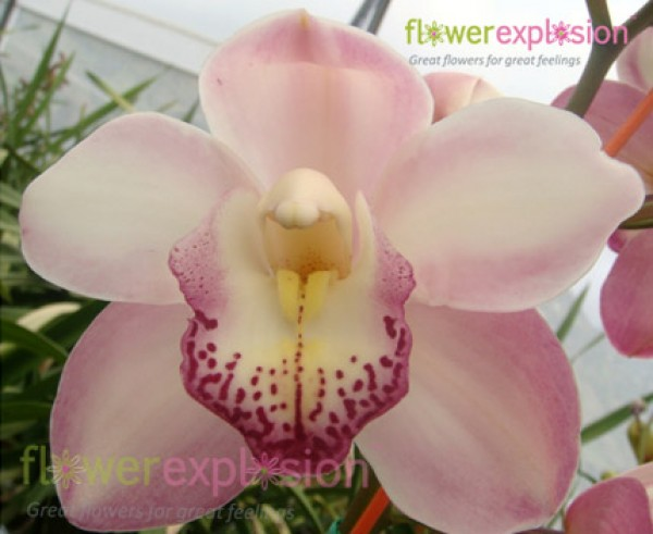 Light Pink Spoted Cymbidium