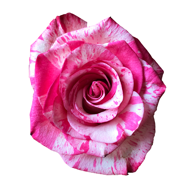 Pink and White Stripes Rose