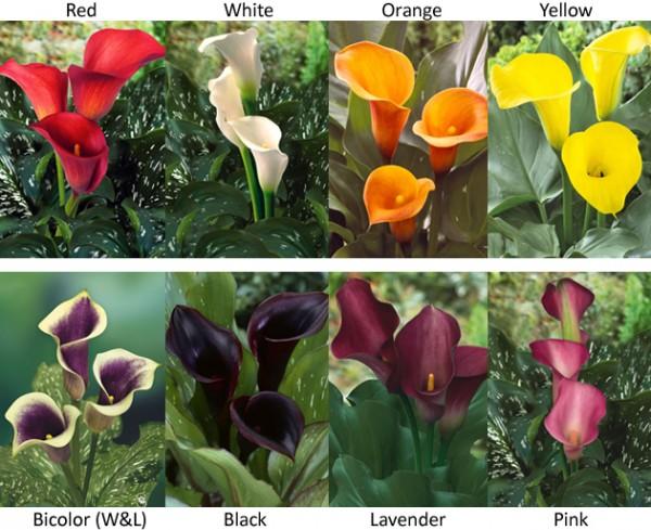 Available Mini Calla Colors
