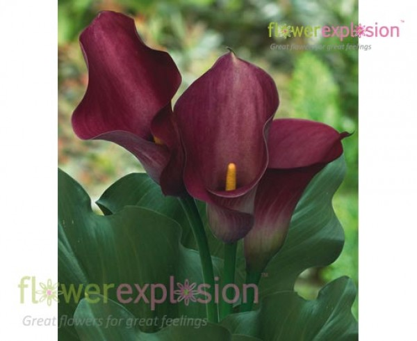 Dark Captain Romance Pink Mini Calla