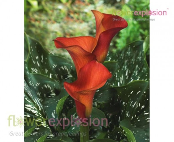 Farao Orange Mini Calla